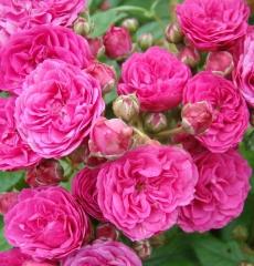 Роза мускусная Динки