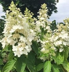 Роза чайно-гибридная Франс Либре