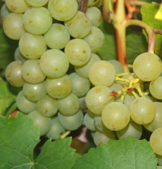 Виноград Жемчуг белый