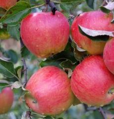 Яблоня зимняя Подарок Графскому