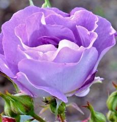 Роза флорибунда Блю Фо Ю