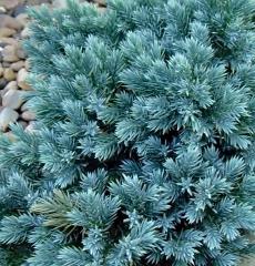 """можжевельник чешуйчатый """"juniperus squamata blue star"""" Р9"""