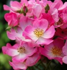 Роза мускусная Балерина