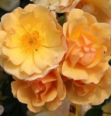 Роза почвопокровная Амбер Сан