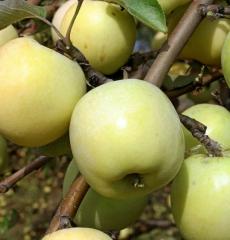 Яблоня осенняя Антоновка