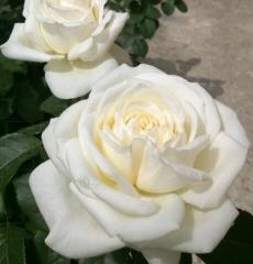 Роза чайно-гибридная Ломоносов (Пьер Ардити)