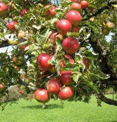 Яблоня зимняя Звездочка