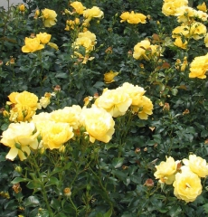Роза флорибунда Чайна Гёрл