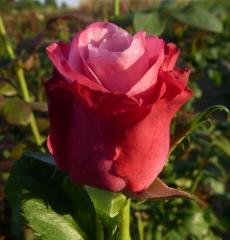 Роза чайно-гибридная Дип Воттер