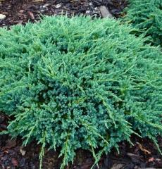 """можжевельник чешуйчатый """"juniperus squamata blue carpet"""" Р9"""