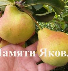 Роза чайно-гибридная Сентер Ройял