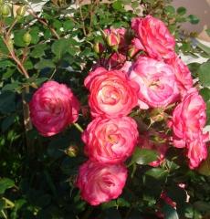 Роза почвопокровная Пат Де Велюр