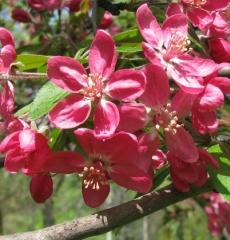 Яблоня декоративная Недзведского