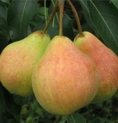 Роза канадская Тереза Багнет