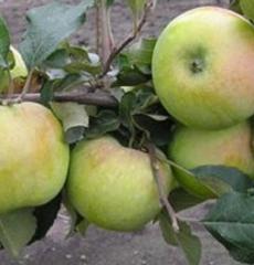 Яблоня зимняя Синап Северный