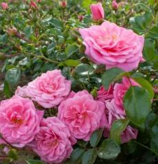Роза почвопокровная Пальменгартен Франкфурт
