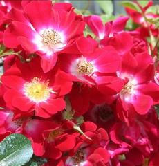 Роза почвопокровная Руж Мейяндекор