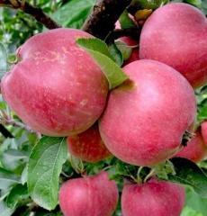 Яблоня летняя Мечта