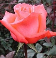 Роза чайно-гибридная Мови Стар