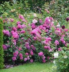 Роза английская Принцесса Анна