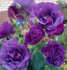 Роза флорибунда Рапсоди ин Блю