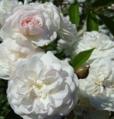 Роза почвопокровная Свони