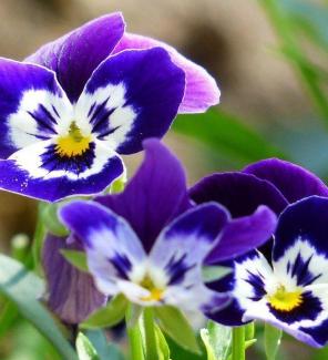 Виола трёхцветная