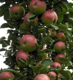 Яблоня колоновидная Арбат, 4-х летка