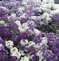 Аллисум белый и фиолетовый