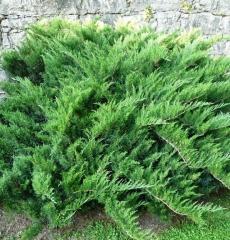 """Можжевельник казацкий """"juniperus sabina tamariscifolia"""" Р9"""
